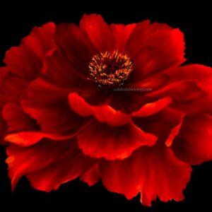 Shop North Dakota Peonie Floral Art Print